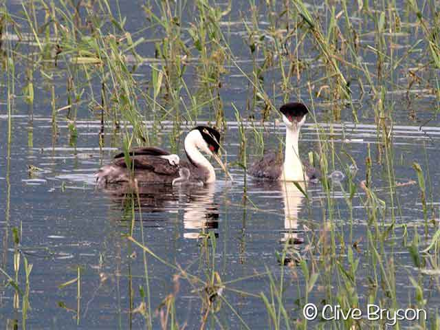 grebes with babies