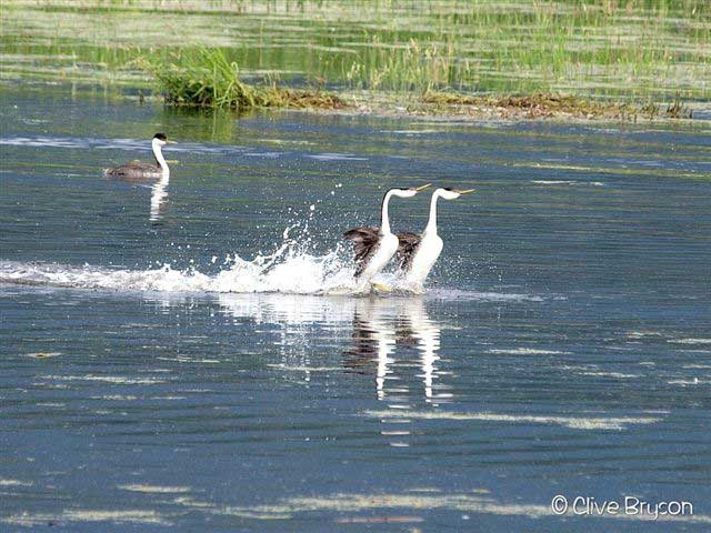 Westerngrebes